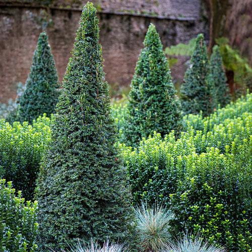 Dark Green Pyramidal Yew Hedge