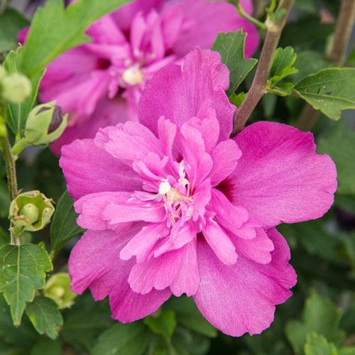 Raspberry Smoothie™ Hibiscus