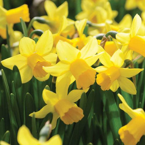 Tête-à-Tête Daffodil
