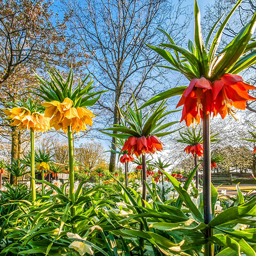 Red Crown Imperial