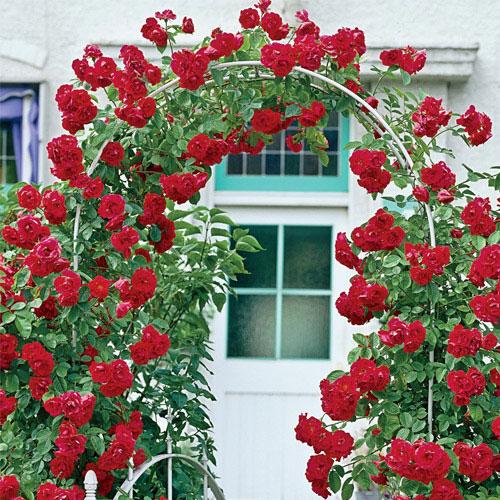 Valentine's Day™ Rose
