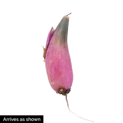 Tongariro Hardy Orchid