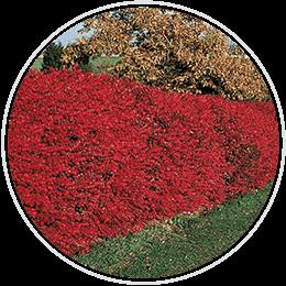 Drought Tolerant Hedges