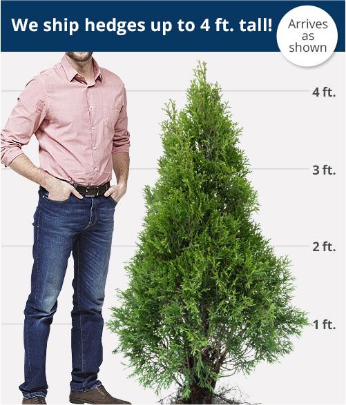 Hedge Height
