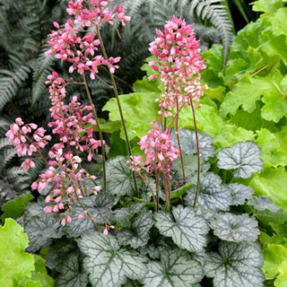 Coral Bells Are Extremely Tolerant Surviving In Full Sun Or Partial Shade These Plants Flourish Shady Spots Rock Gardens Feature Red