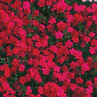 Buy Red Creeping Phlox at Michigan Bulb