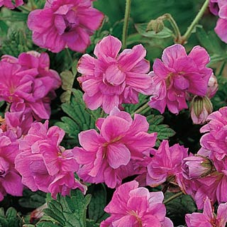 Birch 39 s double everblooming hardy geranium for Hardy low maintenance plants